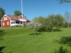 Huset, äppelträden blommar, sommar