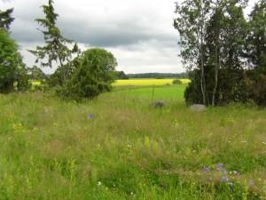 Korna sommarhage, i bakgrunden syns det gulblommande rapsfältet, sommar