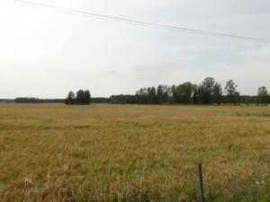 Maltkornsfält, höst