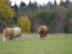 Våra kor är riktiga utomhustjejer! höst